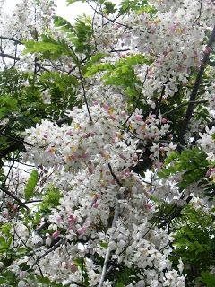 Cherry blossoms philippines 9 Philippine