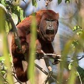 The Venezuelan Red Howler Is A Species Of New World Monkey That
