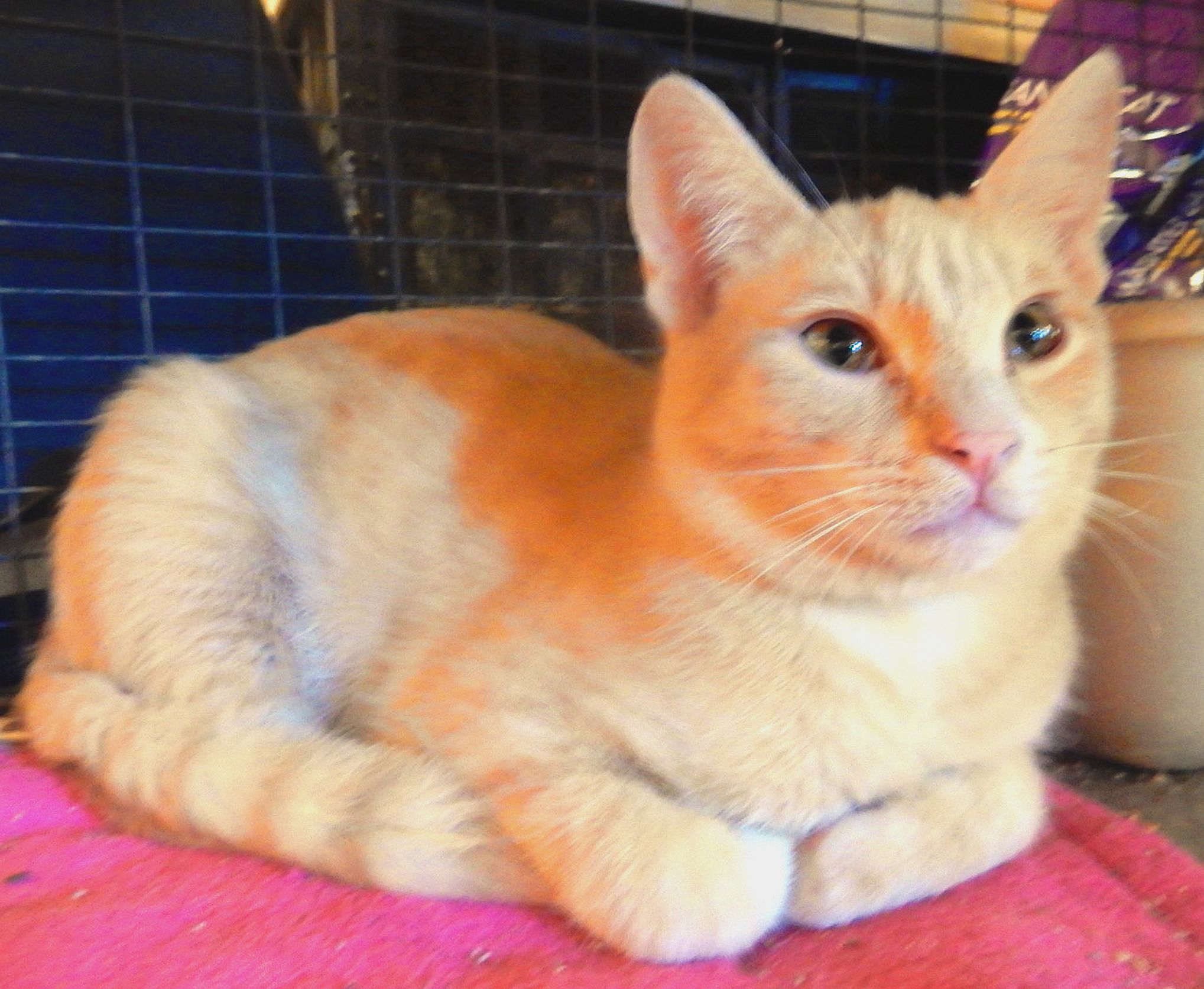 Odie is a pale orange, shorthair, tabby male who is 6