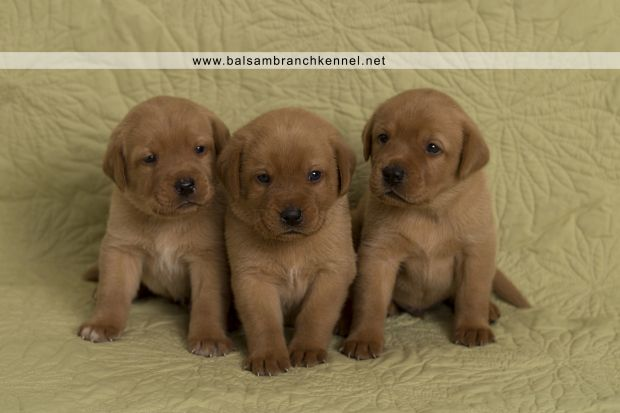 Fox Red Lab Teaka Balsam Branch Kennel Puppies03 Puppies Dogs