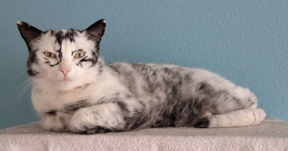 Cat With Rare Condition Develops Breathtaking Markings Rare Cats Animals Cats