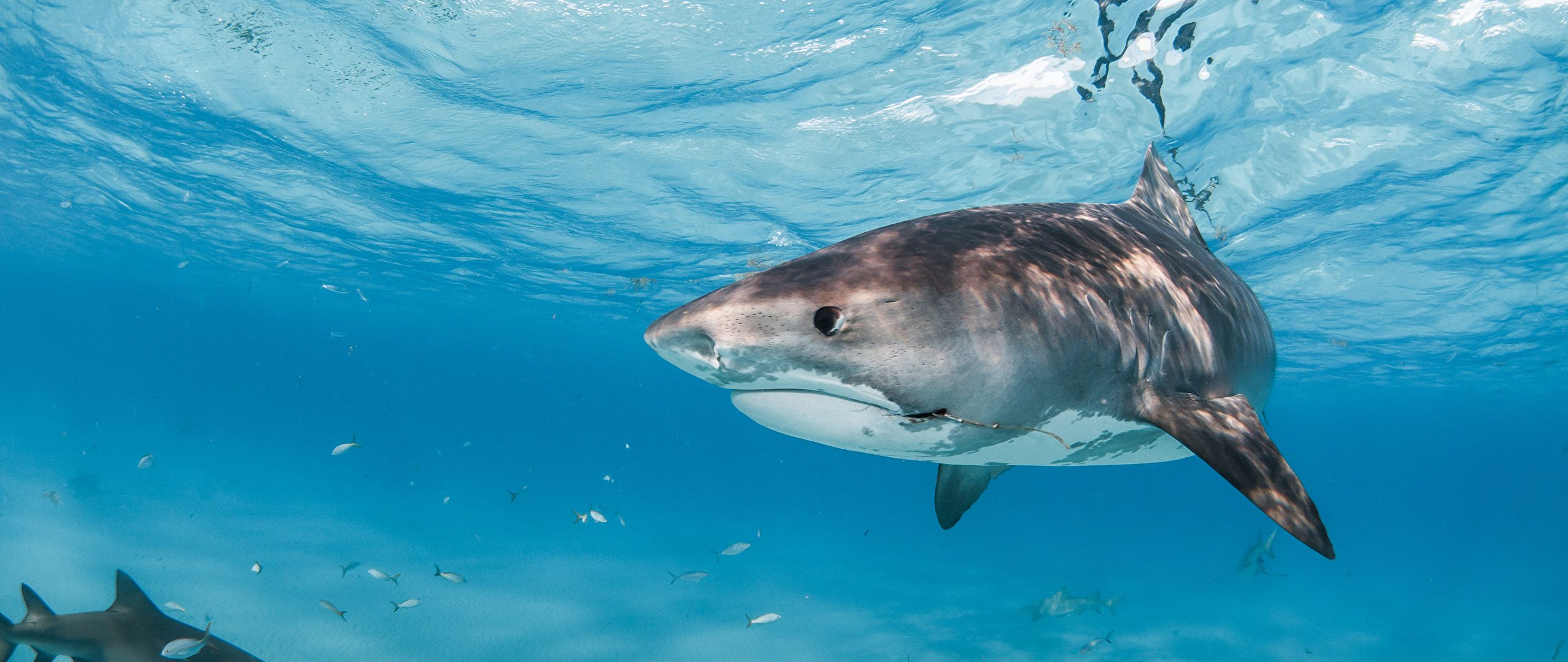 animals Shark Great White Shark Wallpapers HD Desktop and
