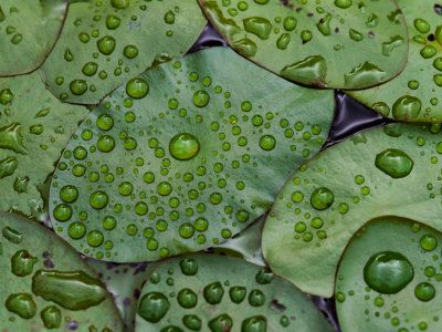Early Morning Dewdrops on Lily Pads, Laurel Lake, near Bandon, Oregon by Tom Haseltine. Photographic print form Art.com.