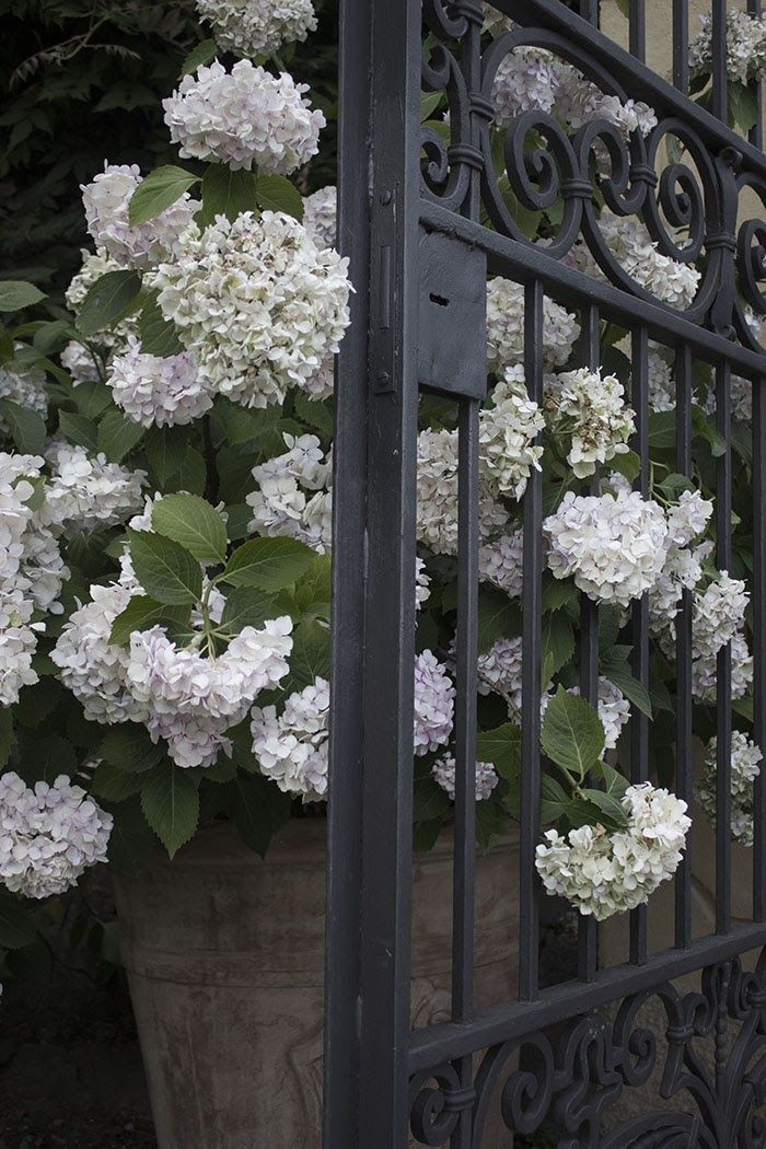 Sanctuary: Fragrance - Hortensias