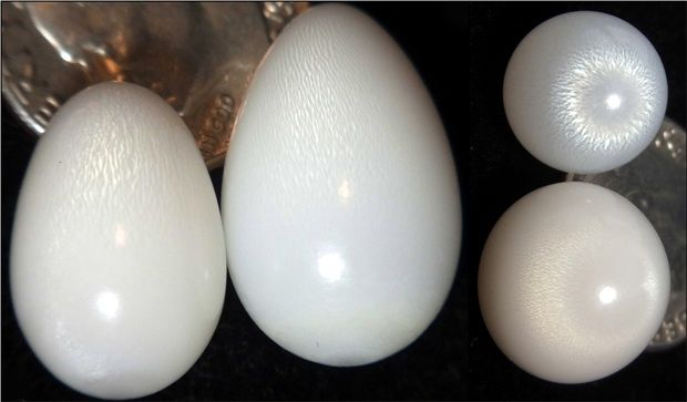 Resultado de imagen para tridacna pearls