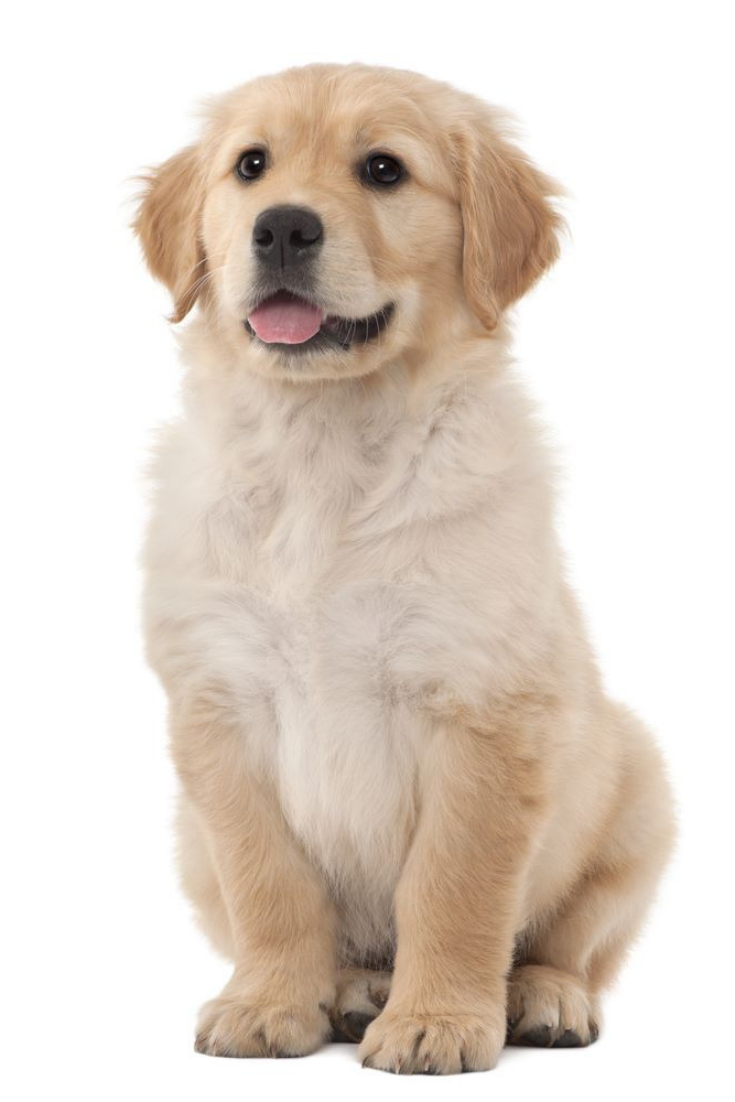 Golden Retriever Puppy 2 Months Old Sitting Against White Background Goldenretriever Golden Retriever Retriever Retriever Puppy