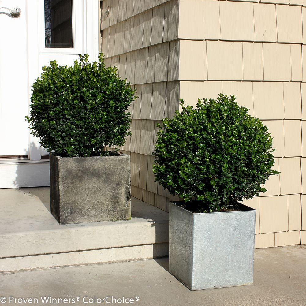 Proven Winners Sprinter Boxwood Buxus Live Evergreen Shrub