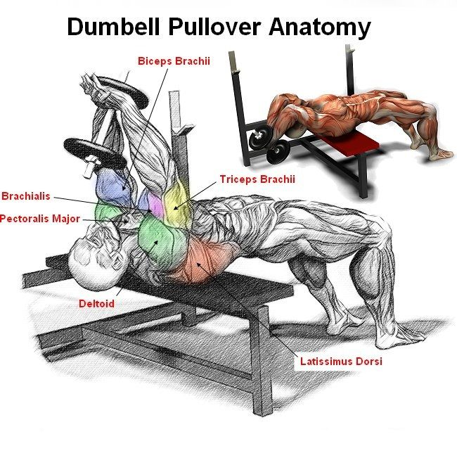 Dumbbell Pullover Anatomy | Workout Illustrations | Pinterest ...