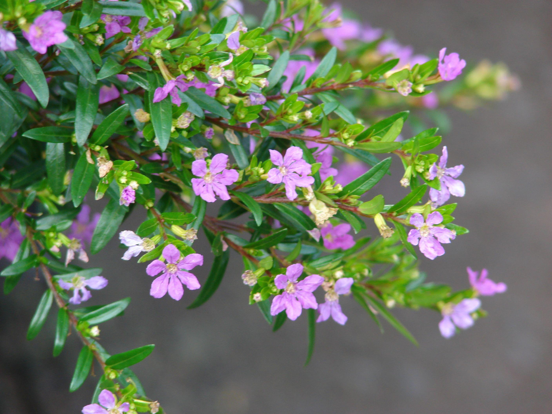 Cuphea Hyssopifolia Hawaiian Heather Purple Flowering Plants Cuphea Plant Purple Shrubs