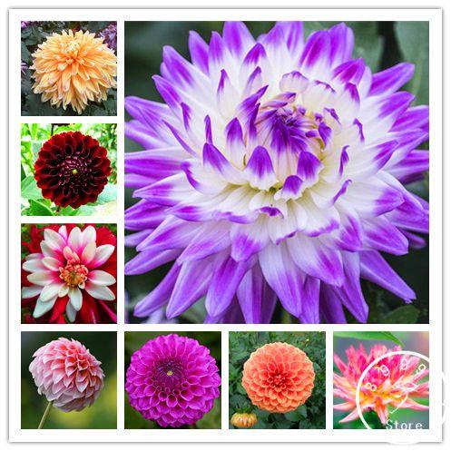 Free Shipping 100pcs Multi Colored Dahlia Seeds Bonsai Flower Plant Seeds For Home Garden U4r4ds Bonsai Flower Flower Seeds Planting Flowers