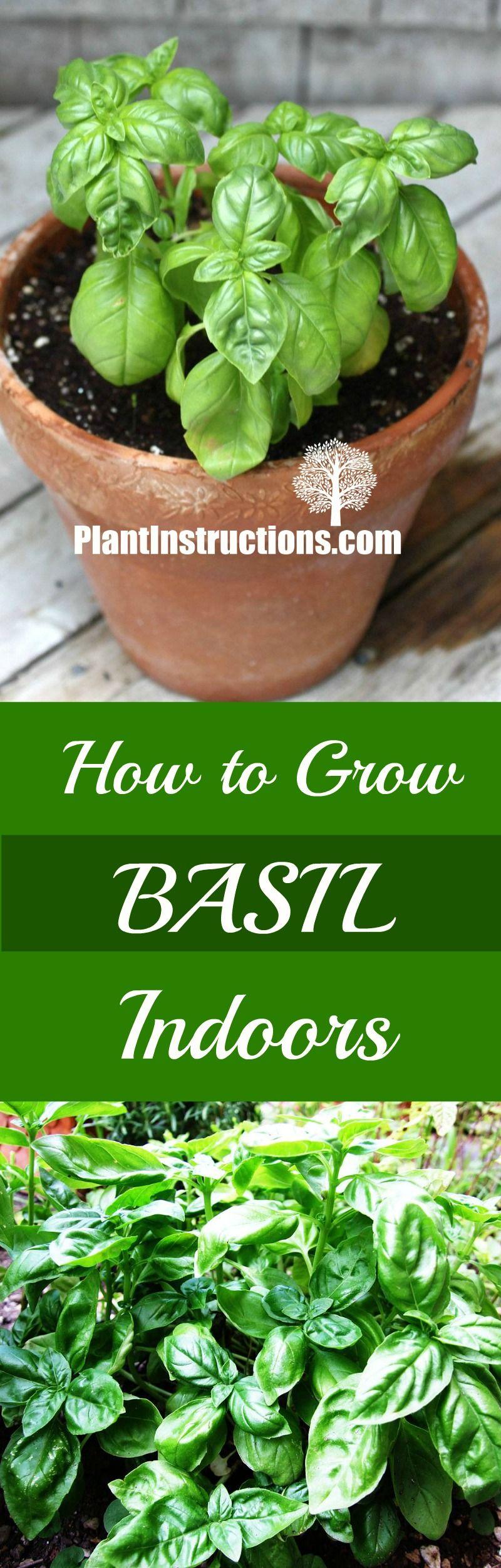 How to grow basil indoors growing basil indoors indoor