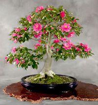 Camellia Bonsai Tree Camellia Sasanqua Bonsai Tree Bonsai Bonsai Art