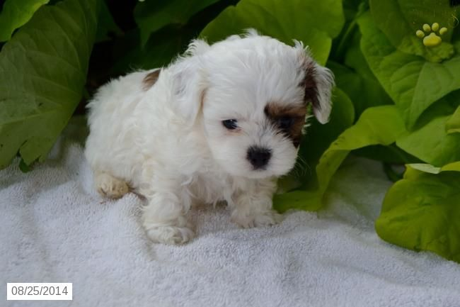 Shih Poo Puppy For Sale In Ohio Shih Poo Puppies Puppies Shih Poo