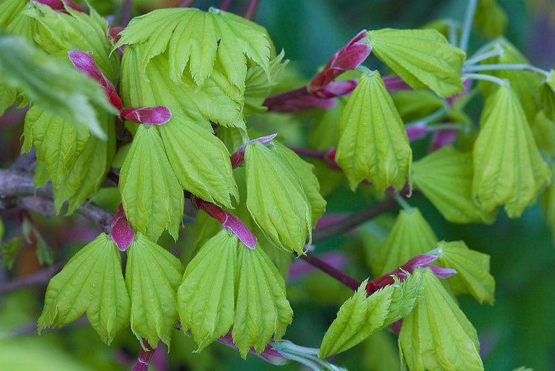 Expanding new leaves Acer shirasawanum 'Aureum' - Golden leaf Full Moon Japanese Maple in spring