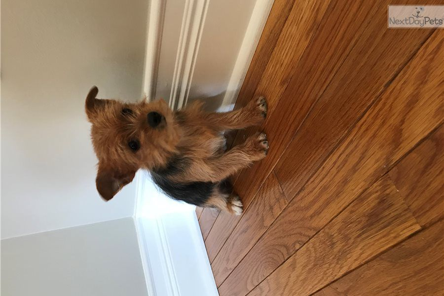 Yorkshire Terrier Yorkie puppy for sale near Chicago
