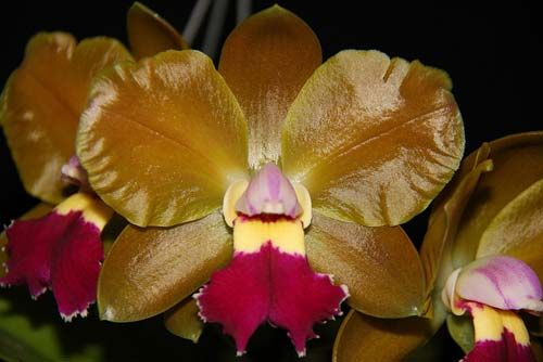 Blc Brassolaeliocattleya Chinese Bronze Marco Polo Orchid Flower Orchidaceae Flowers
