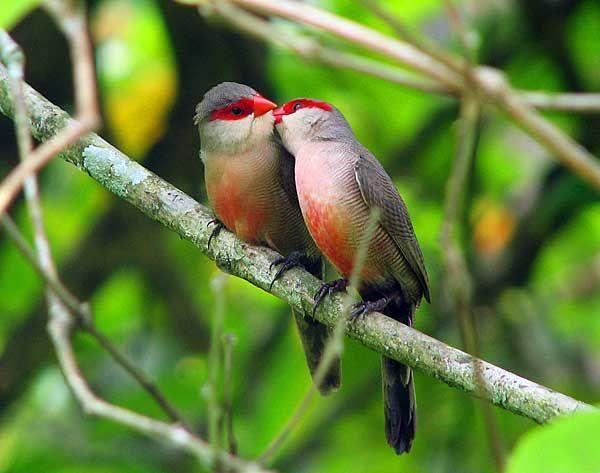 Голоса птиц: как определить по пению, свисту или звуку ...