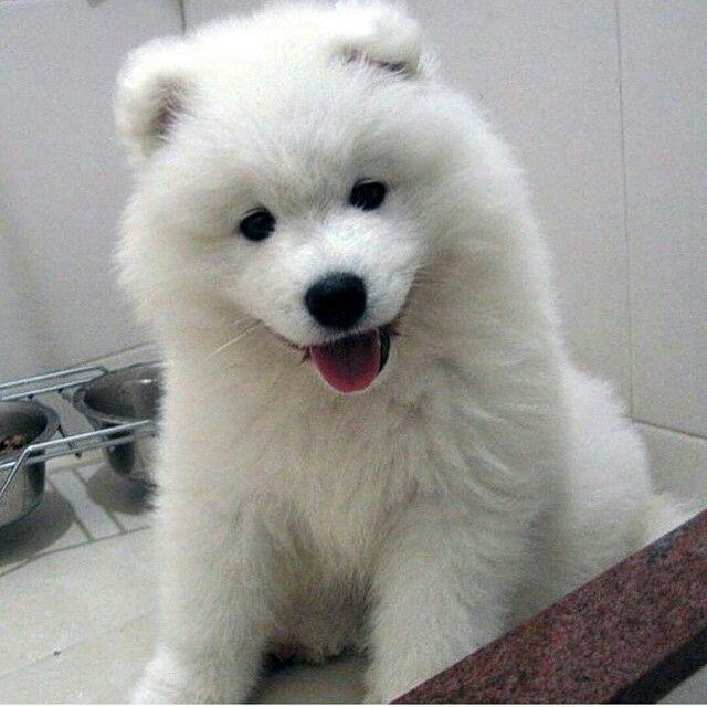 Fluffy White Dog With Fun Loving Black Eyes Samoyed Puppy Dogs