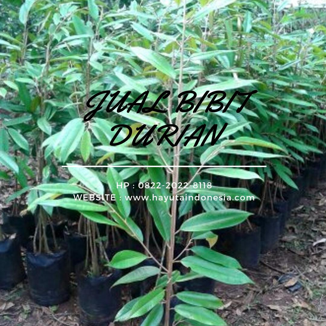 Wa 0822 2022 8118 Harga Bibit Durian Golden King Karanganyar Pusat Bibit Durian Gajah Kebumen Grosir Bibit Durian Genjah Jogja Ke Kendal Semarang