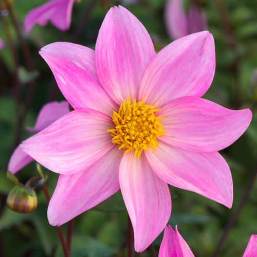 dahlia 'merveille' (dahlia nain simple) : vivaces originaires du