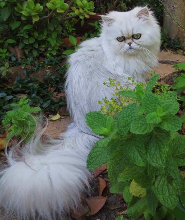 Mythicbells Persian Cats Kittens Persian Cat Gorgeous Cats Cats