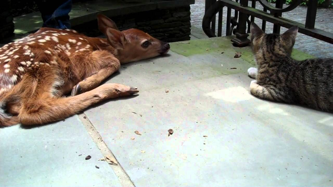 Kitten Excited To See Baby Deer On The Front Porch Baby Deer Cute Animals Baby Animals