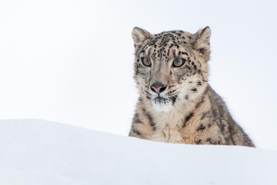 Portrait of a Snow Leopard by Sandy Brooks - Photo 124439705 - 500px