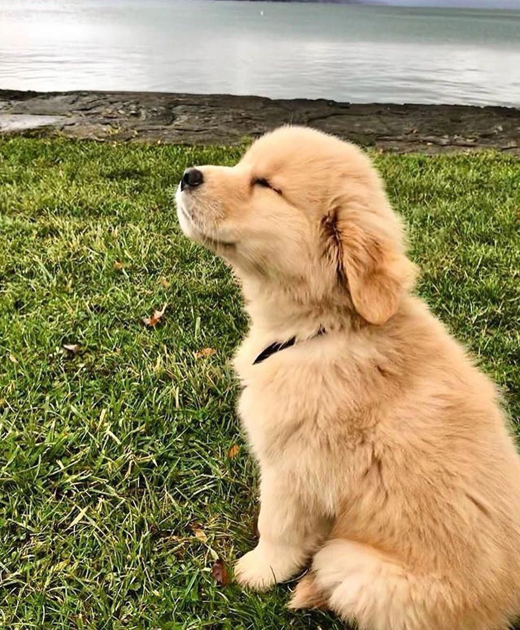 Facts On The Golden Retriever Puppies And Kids Goldenretrievershirts Goldenretrieverofig Goldenretrievertraining Cute Animals Cute Baby Animals Puppies