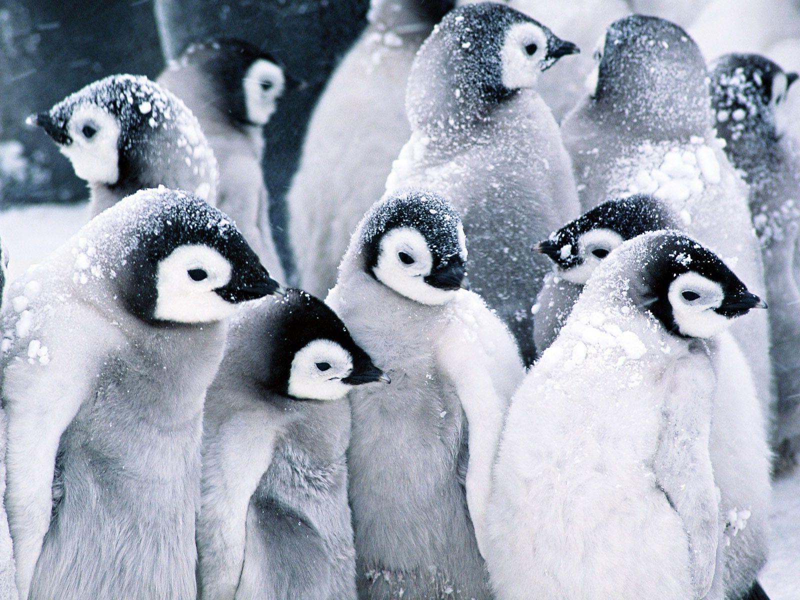 Cute Baby Penguins Wallpaper 1600x1200 45966 Cute Baby Penguin Penguin Wallpaper Baby Penguins