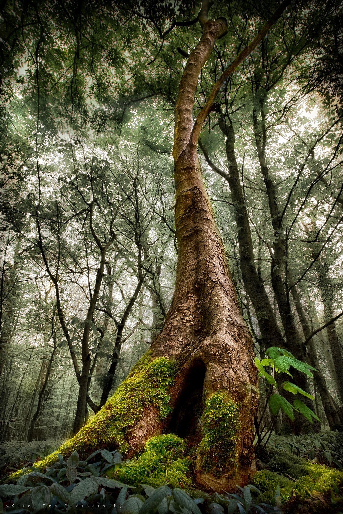 Piantare Alberi Di Paulonia pin di paolo caron su alberi   natura, paesaggi e luoghi
