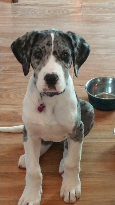 Rita Our Daniff Great Dane Mastiff At About 3 Months Old