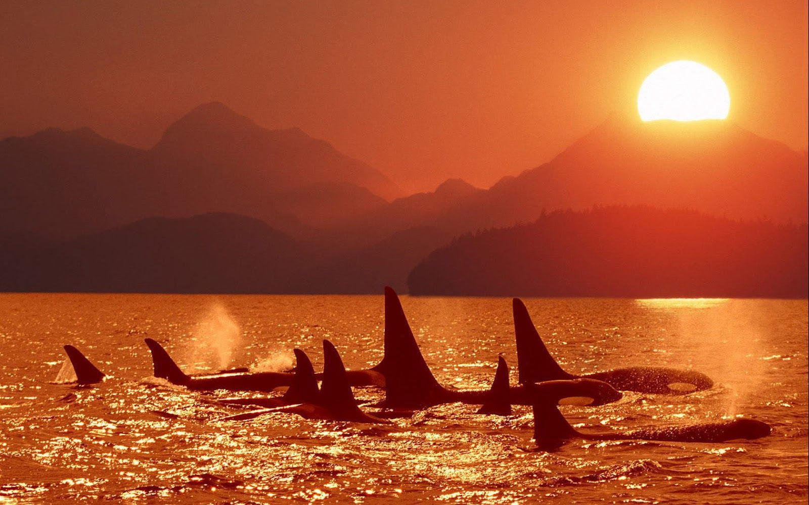 Orca wallpaper hd google suche sunset and sunrise pinterest orca wallpaper hd google suche altavistaventures Images