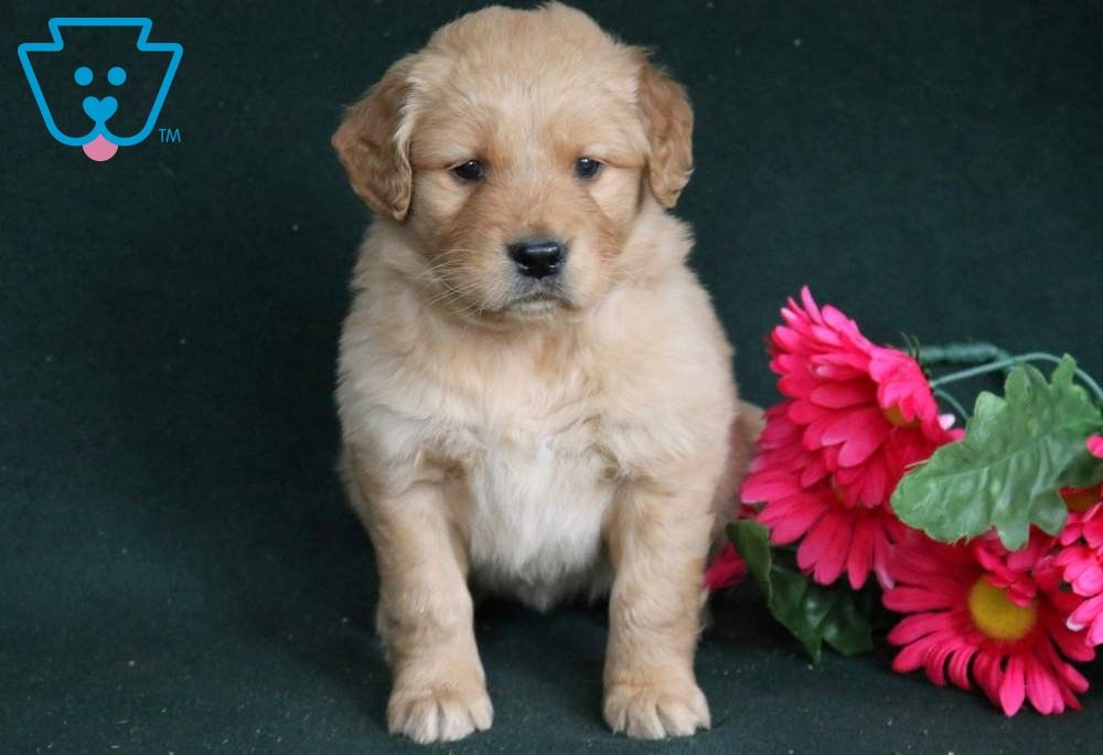 Emmy Dogs Golden Retriever Puppies Puppies For Sale