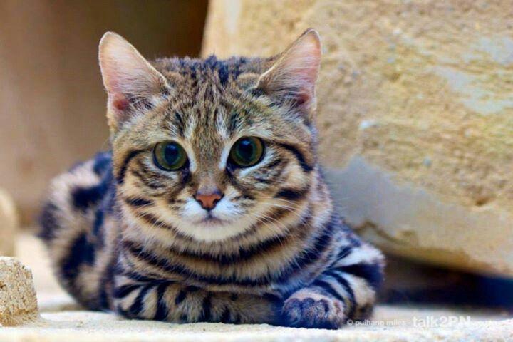 Gray Tabby Cat Rare Cats Tabby Cat Black Footed Cat