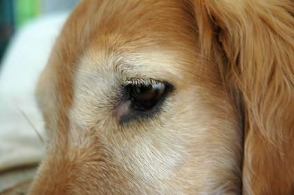 Eye Antibotics for Dogs - Pets