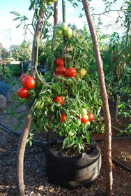 Heirloom tomatoes in a 10 gallon Smart pot.