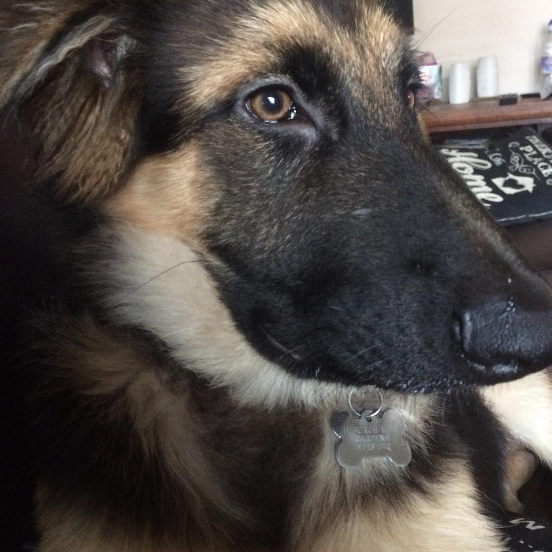 """"""". #germanshepherdsofinstagram #dog #germanshepherds #germansgepherddog #forevergermansheps #gsdpage #germanshepherdsofinstagram #germamshepherdonline…"""""""