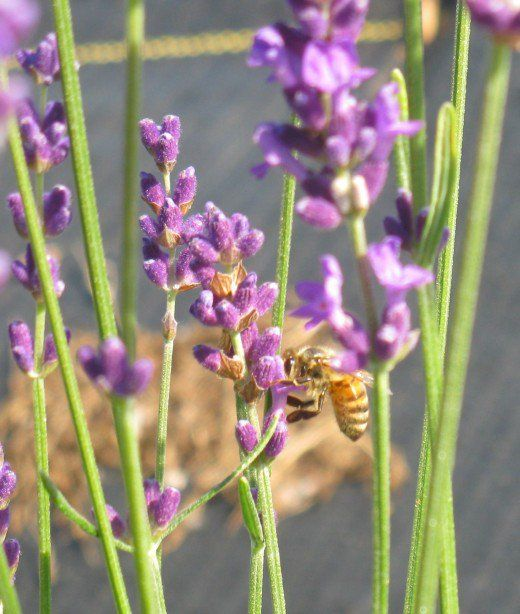 The Best French & English Lavender Varieties To Grow In