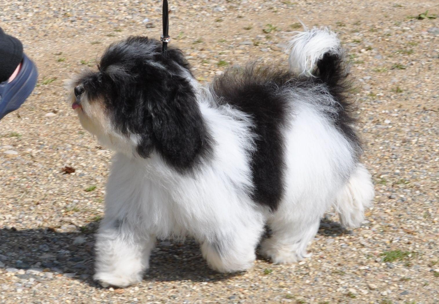 HAVANESE Havanese puppies, Havanese dogs, Havanese
