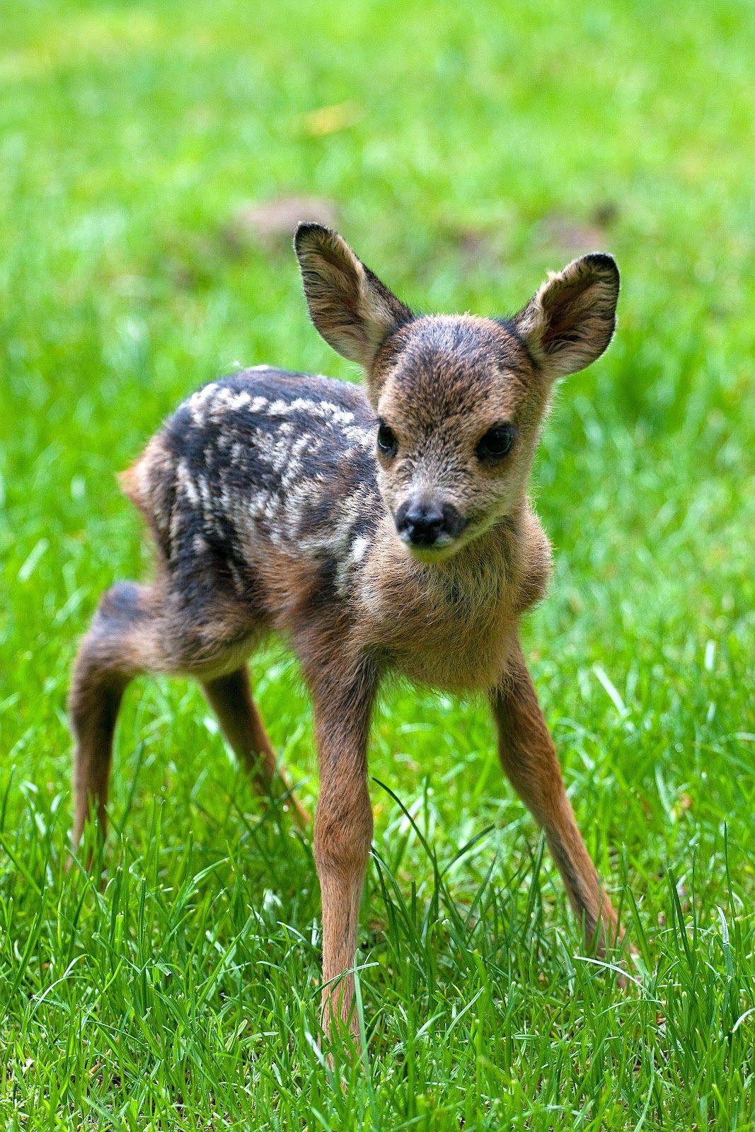 Baby Roe Deer Animals, Cute animals, Animals beautiful