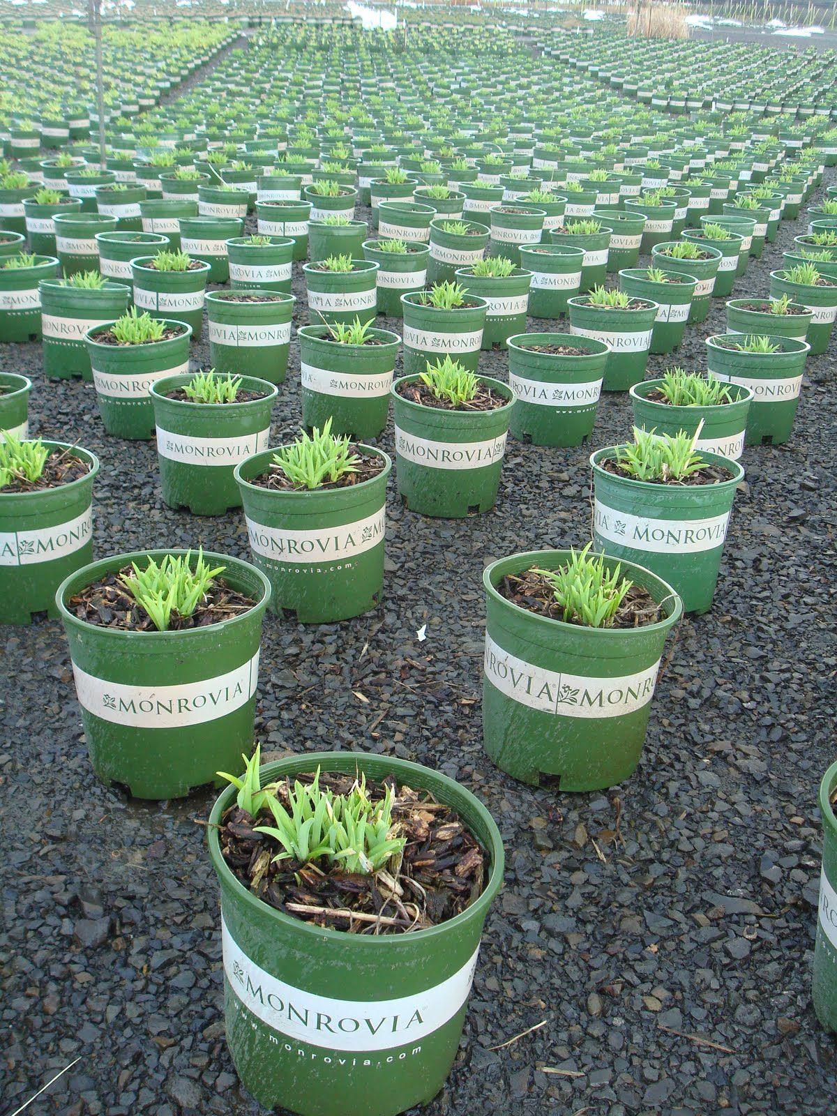Hemerocallis beginning to peek out in Oregon Monrovia