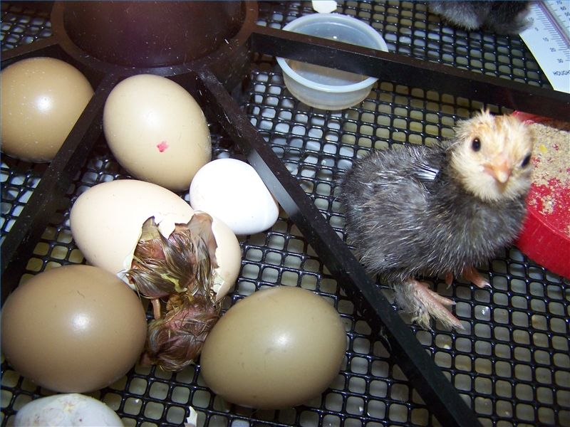 How To Tell If An Egg Is Going To Hatch Ehow Homemade Incubator Raising Turkeys Eggs