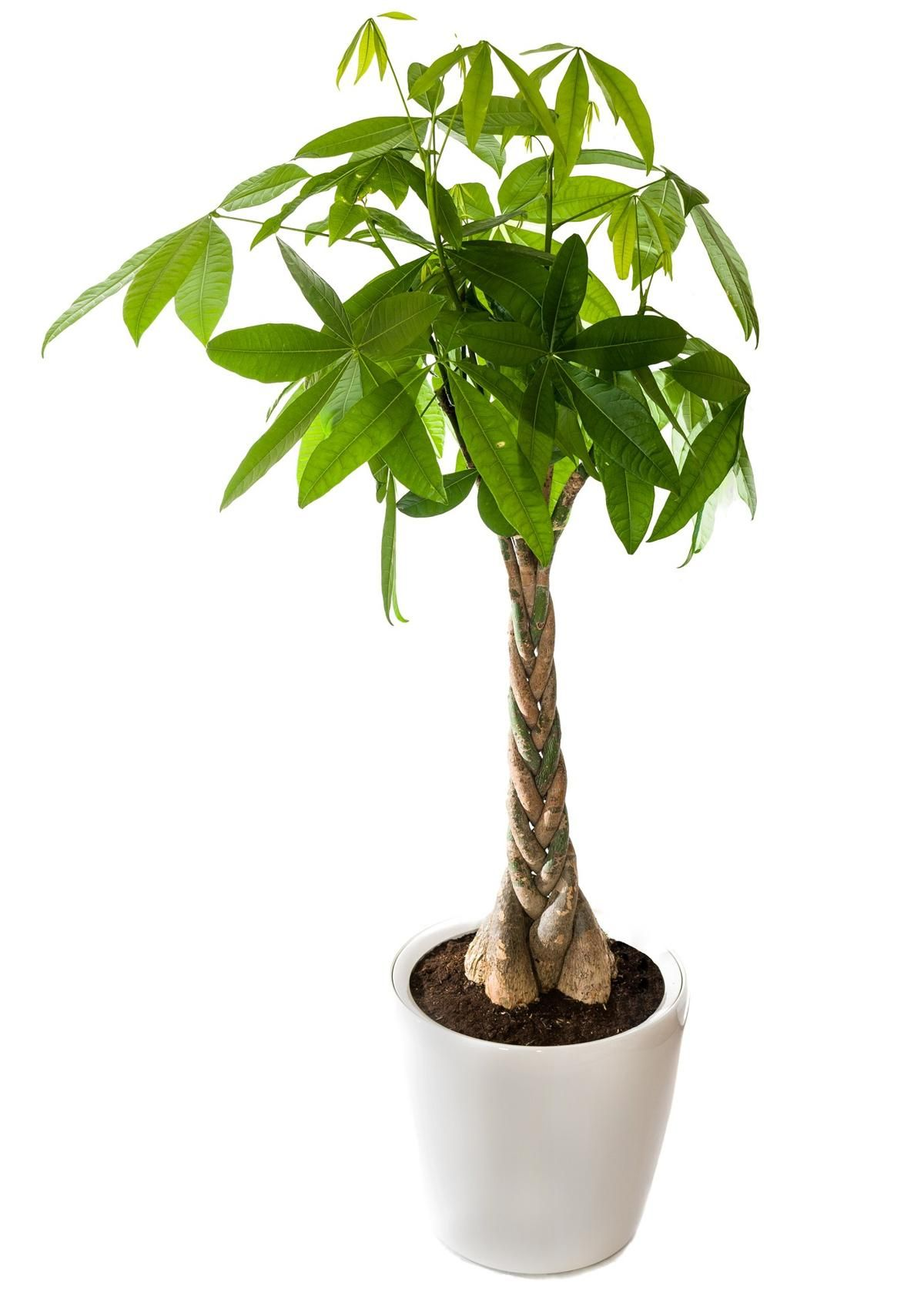 We Tell You How To Braid A Money Tree In 6 Easy Steps Gardenerdy Money Tree Plant Plant Care Houseplant Trees To Plant
