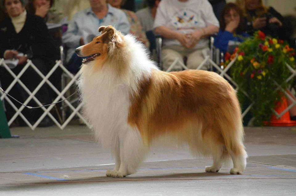 Mbiss Gch Aurealis Coldplay Cca Aom 2013 Rough Collie Collie Dog Long Haired Dog Breeds