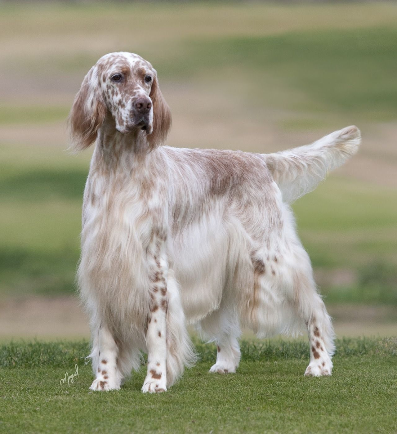 Picture Of English Setter Dog