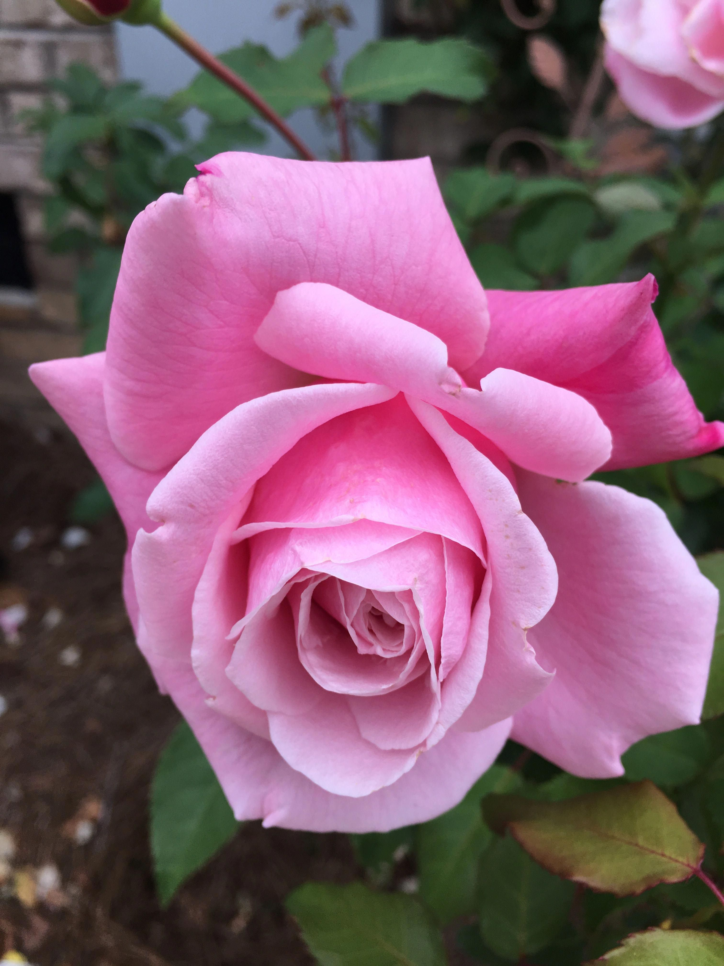 Hybridtearoses hybrid tea roses floribunda roses