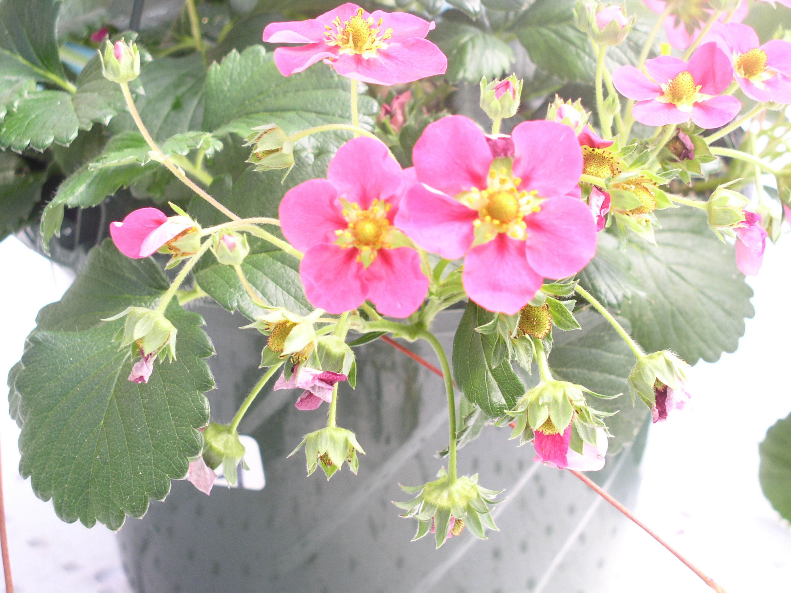 Pink strawberry fragisimo gardening cascading flowers pink strawberry fragisimo mightylinksfo Gallery