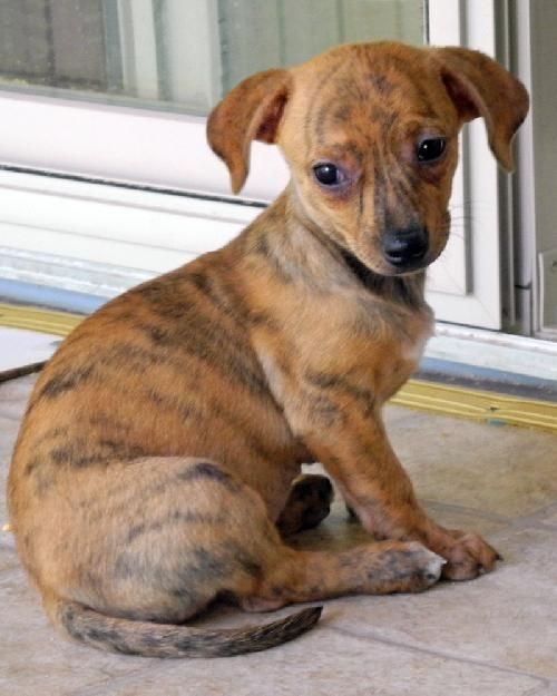 Fate Dachshund Whippet Mix Female She Is Approx 2 Months And 4