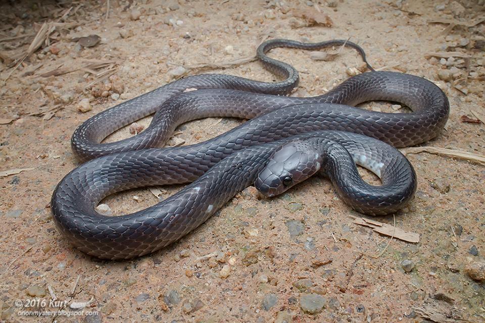 Malayan Banded Wolf Snake (Lycodon subcinctus