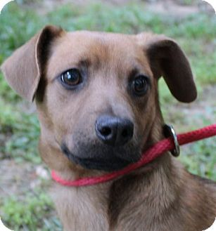 Hagerstown Md Dachshund Feist Mix Meet Samona B A Puppy For